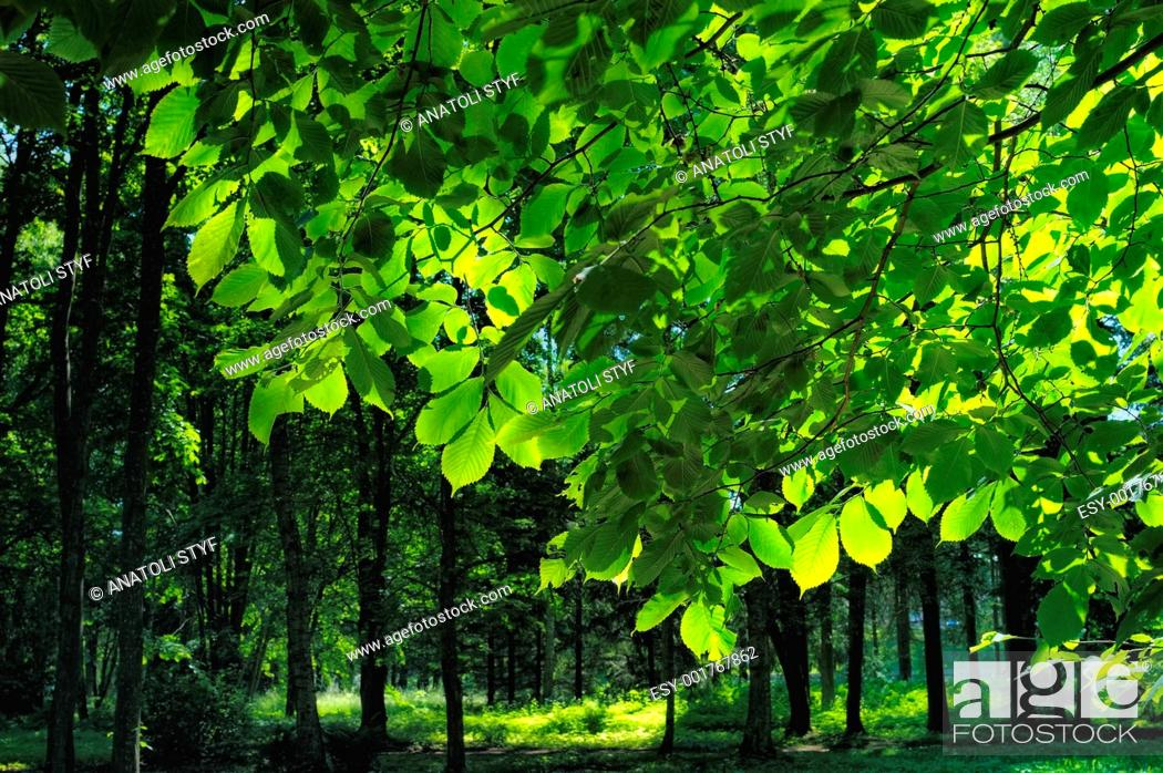 Stock Photo: Foliage in Sunlight.