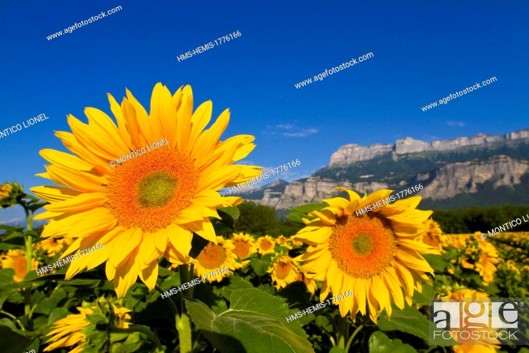 Stock Photo: France, Isere, Sunflowers in front of the Regional Natural Park of Chartreuse.