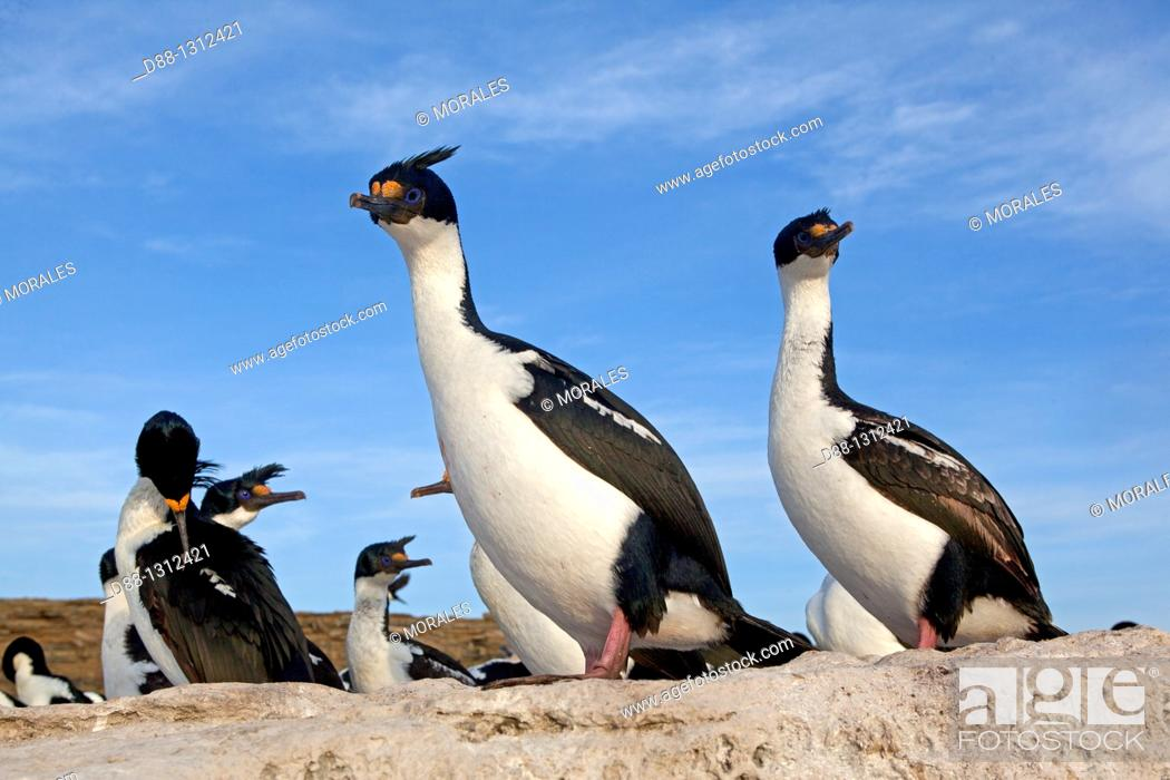 Stock Photo: Falkland Islands , Sea LIon island , King Shag or Imperial Shag Phalacrocorax atriceps albiventer.