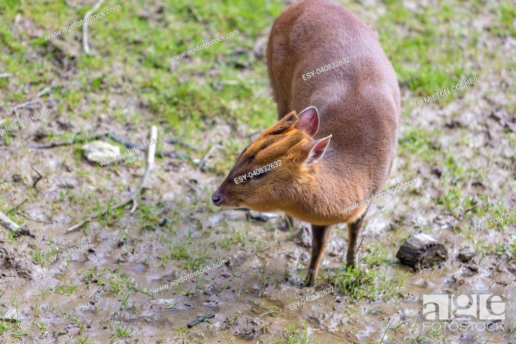 Stock Photo: Adult female Reeve's Muntjac Deer (Muntiacus reevesi) at the British Wildlife Centre, Surrey, England. Introduced species.