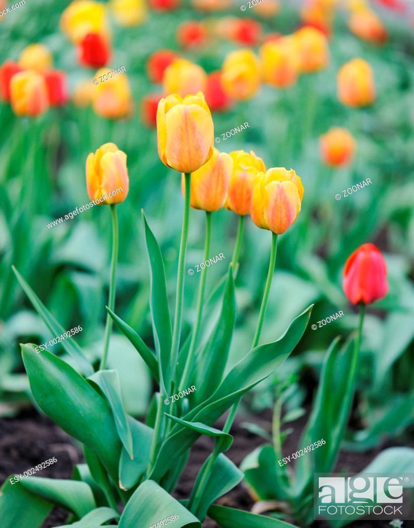 Stock Photo: yellow tulips.