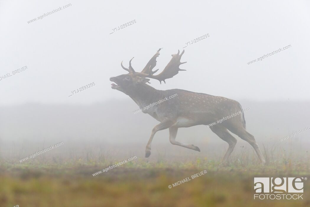 Stock Photo: Running Fallow Deer (Cervus dama) on misty morning, Autumn, Hesse, Germany, Europe.