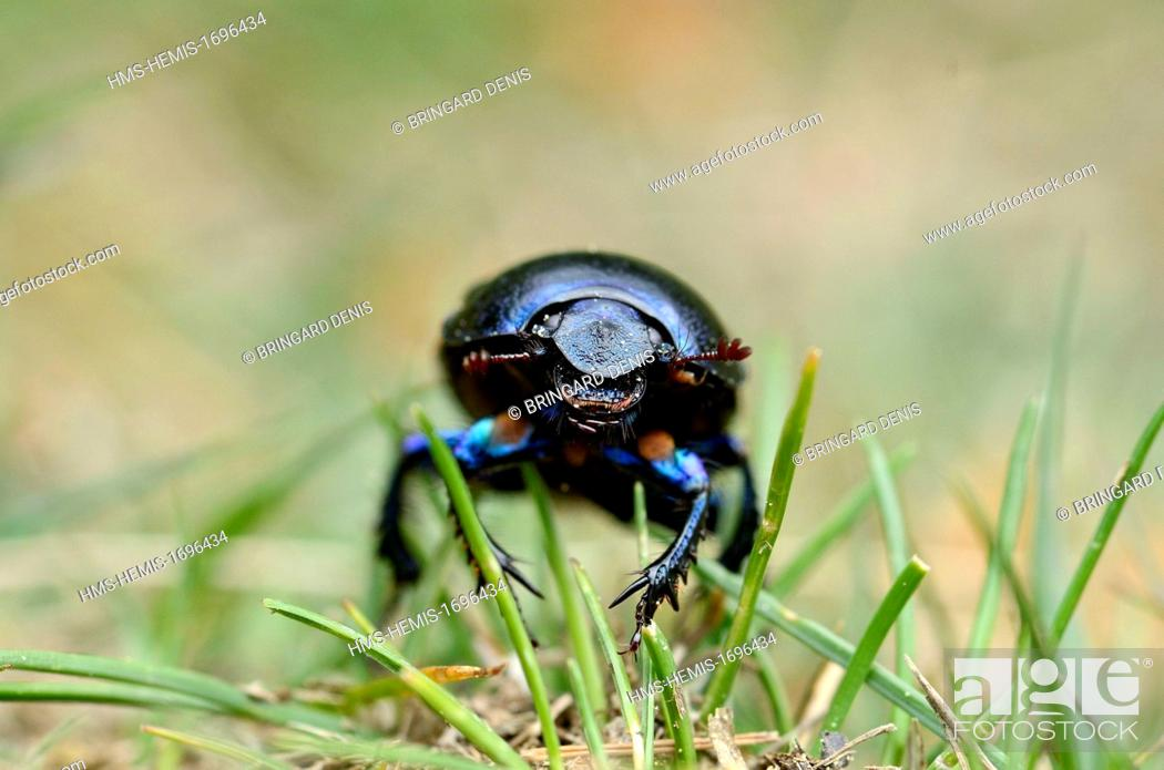 Stock Photo: France, Vosges, the Vosges Mountains, Red Grass (1100 m), thatch, Bousier (Anoplotrupes stercorosus).