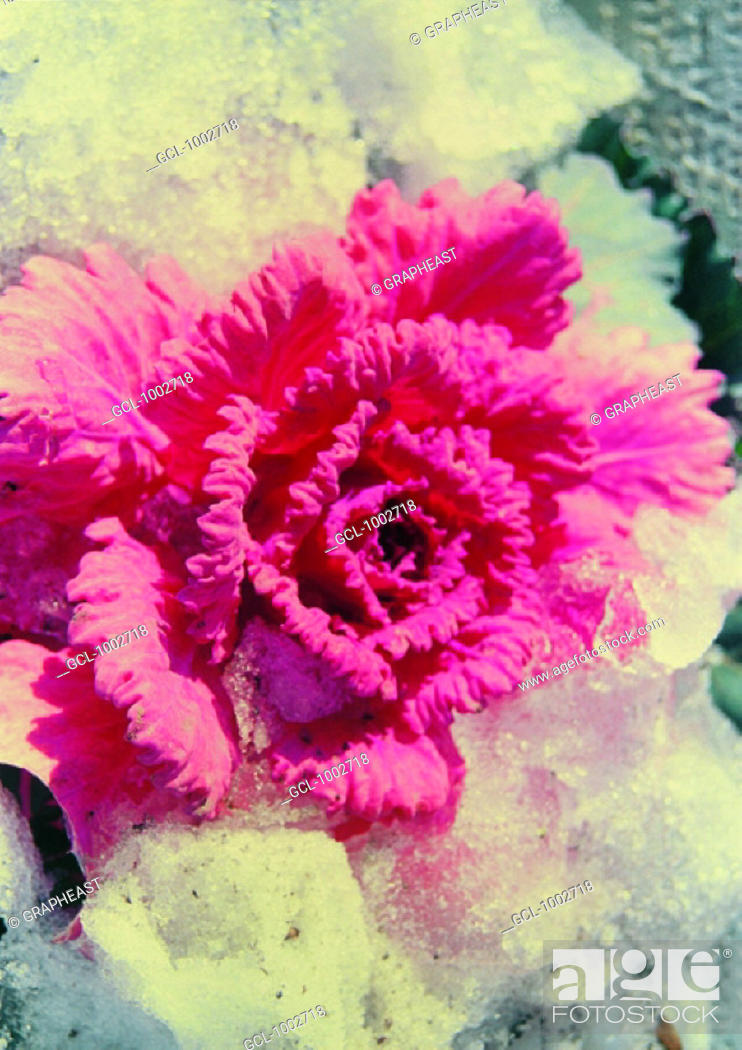Stock Photo: Pink flower frozen in ice.