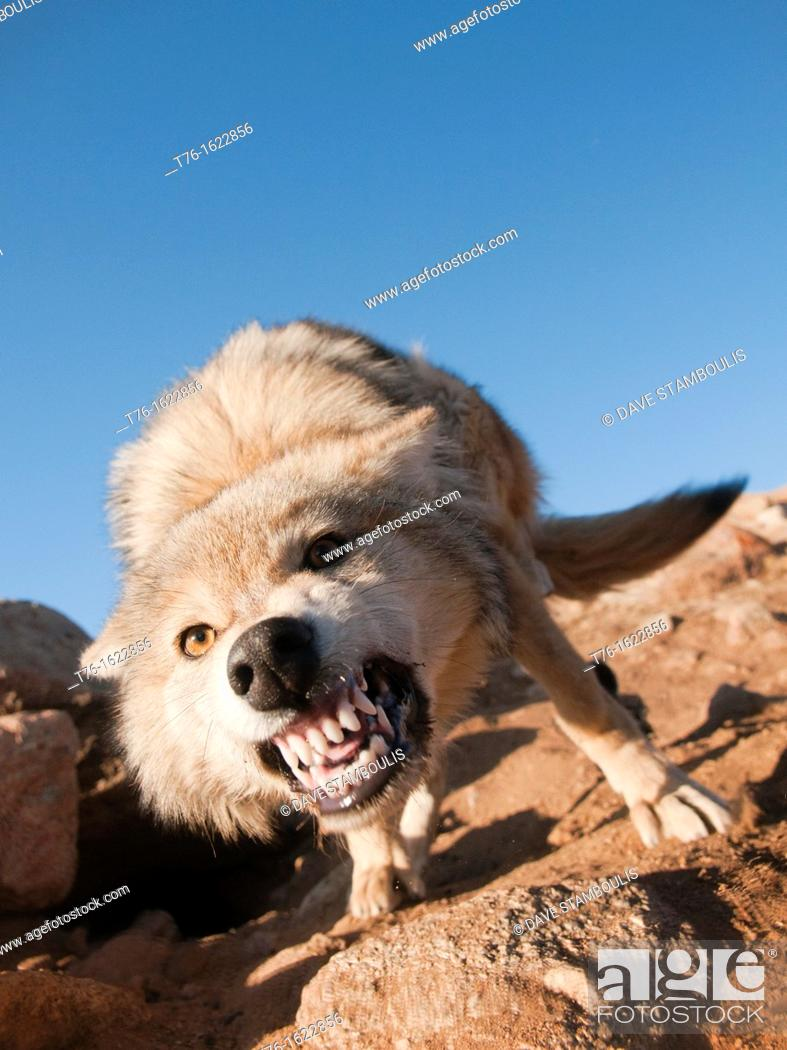 Stock Photo: wild snarling wolf canis lupis in the Altai Region of Bayan-Ölgii in Western Mongolia.