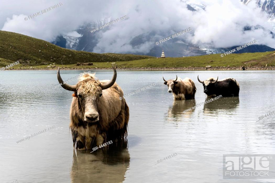 Stock Photo: Yaks (Bos mutus) standing in water, Ice Lake, Braga, Manang District, Nepal.