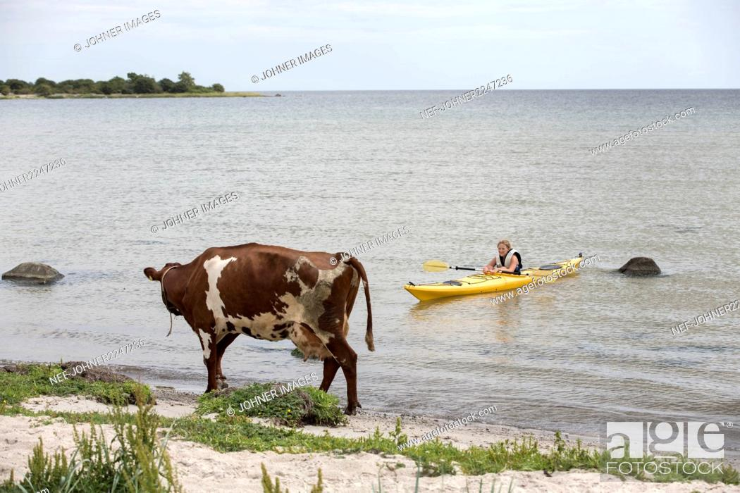 Stock Photo: Woman kayaking, cow on beach on foreground.