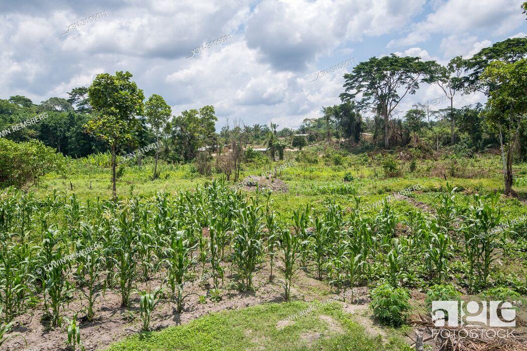 Photo de stock: Corn Stalks (Zea mays) grow in Ganta, Liberia.