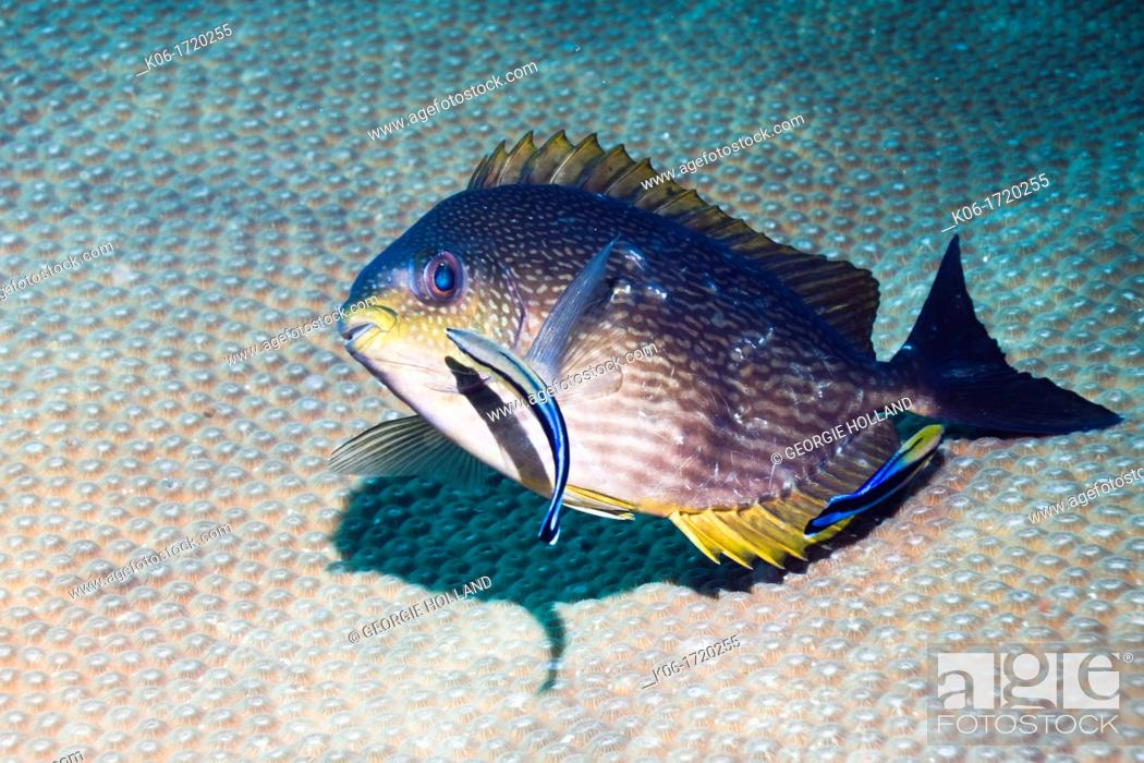 Stock Photo: Rivulated rabbitfish Siganus rivulatus being cleaned by two Bluestreak cleaner wrasses Labroides dimidiatus  Andaman Sea, Thailand.