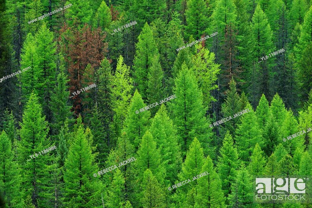 Stock Photo: North America, United States, Montana, Glacier National park  Conifer forest.