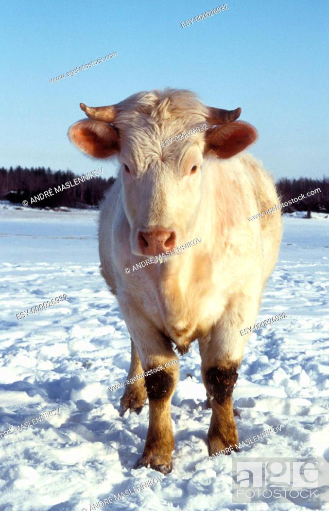 Stock Photo: Bull, winter.