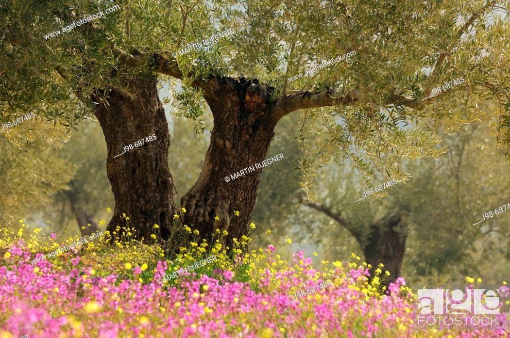 Stock Photo: Olive trees plantation with flowers. Jaen province, Andalusia, Spain, Europe.