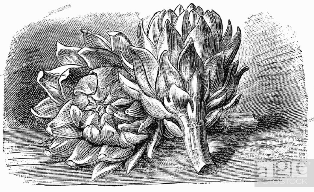 Stock Photo: Artichokes (illustration).