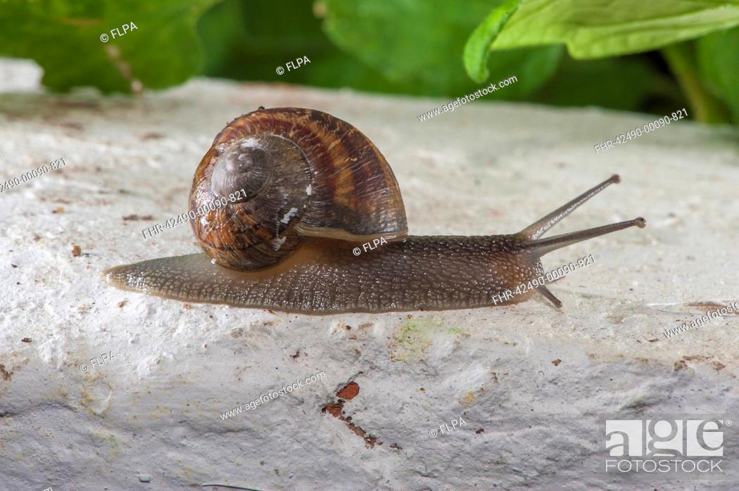 Stock Photo: Garden Snail Helix aspersa adult, in garden greenhouse, Lancashire, England, july.