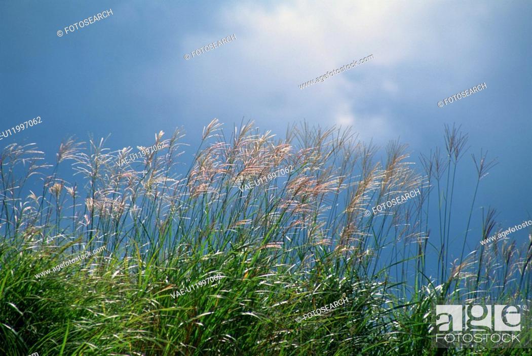 Stock Photo: Japanese Pampas Grass.