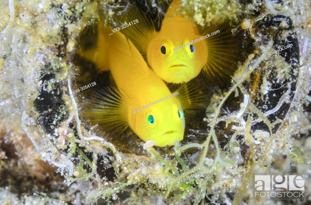 Stock Photo: Yellow Pygmy Goby, Lubricogobius exiguus, Anilao, Batangas, Philippines, Pacific.