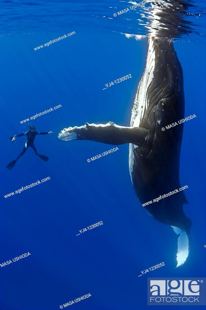 Stock Photo: humpback whale, Megaptera novaeangliae, and diver, reaching out for a physical contact, Pacific Ocean.