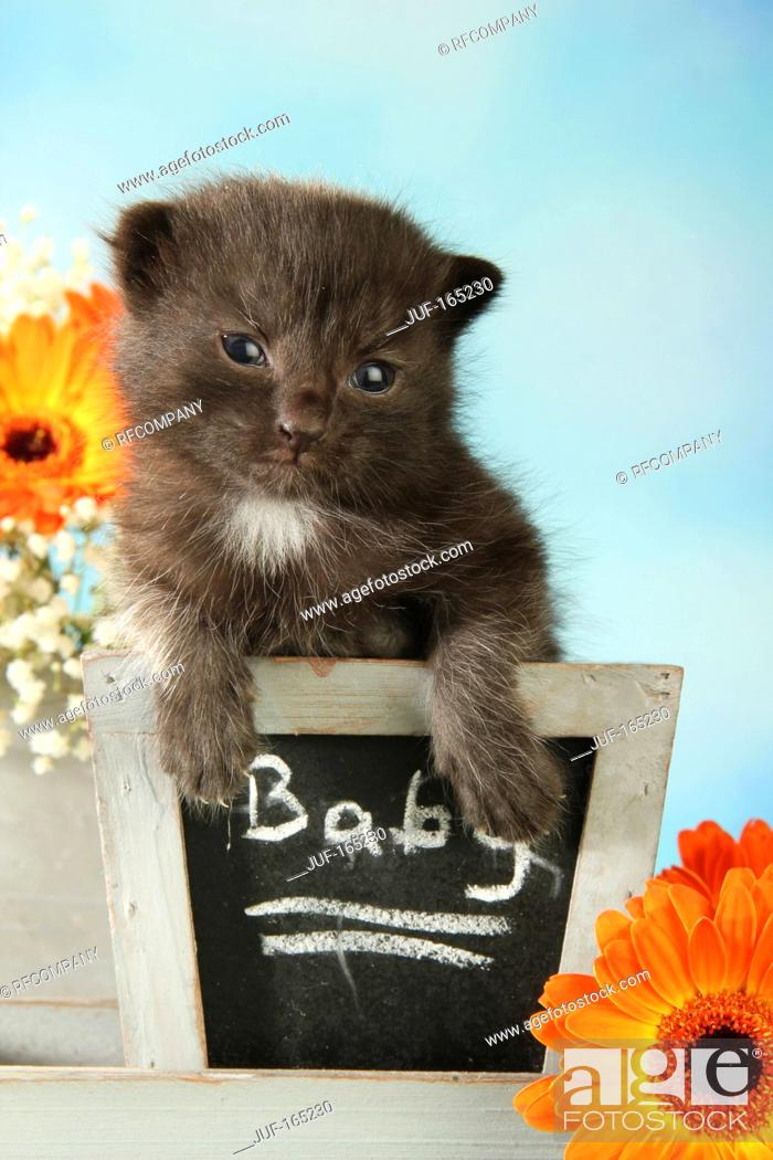 Imagen: domestic cat - kitten 14 days.