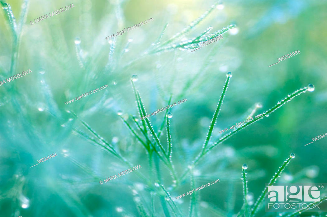 Stock Photo: Garden Dill. Anethum graveolens. Herb, spice. Maryland, USA.
