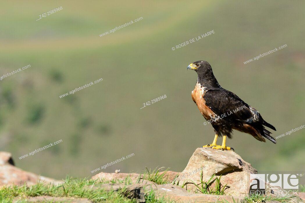 Imagen: Jackal buzzard (Buteo rufofuscus). Giant's Castle Game Reserve. Ukhlahlamba Drakensberg Park. KwaZulu Natal. South Africa.
