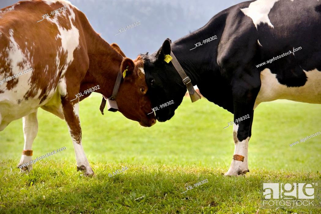 Stock Photo: Cows face to face  Le Brassus  Switzerland.