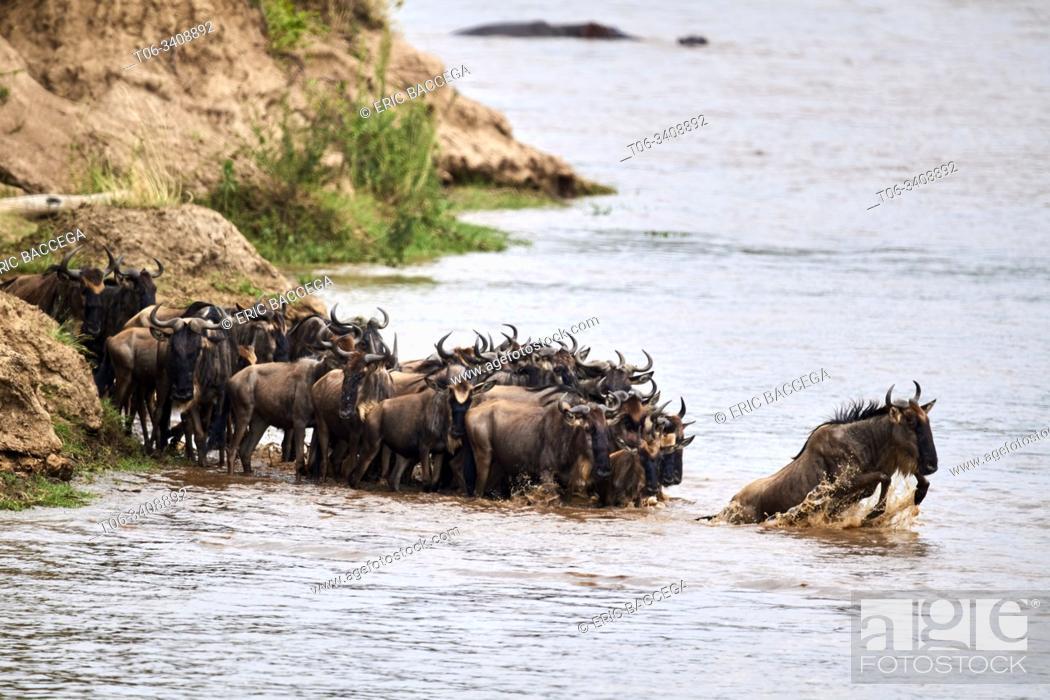 Stock Photo: Eastern White-bearded Wildebeest herd (Connochaetes taurinus) crossing the Mara River. Masai Mara National Reserve, Kenya.
