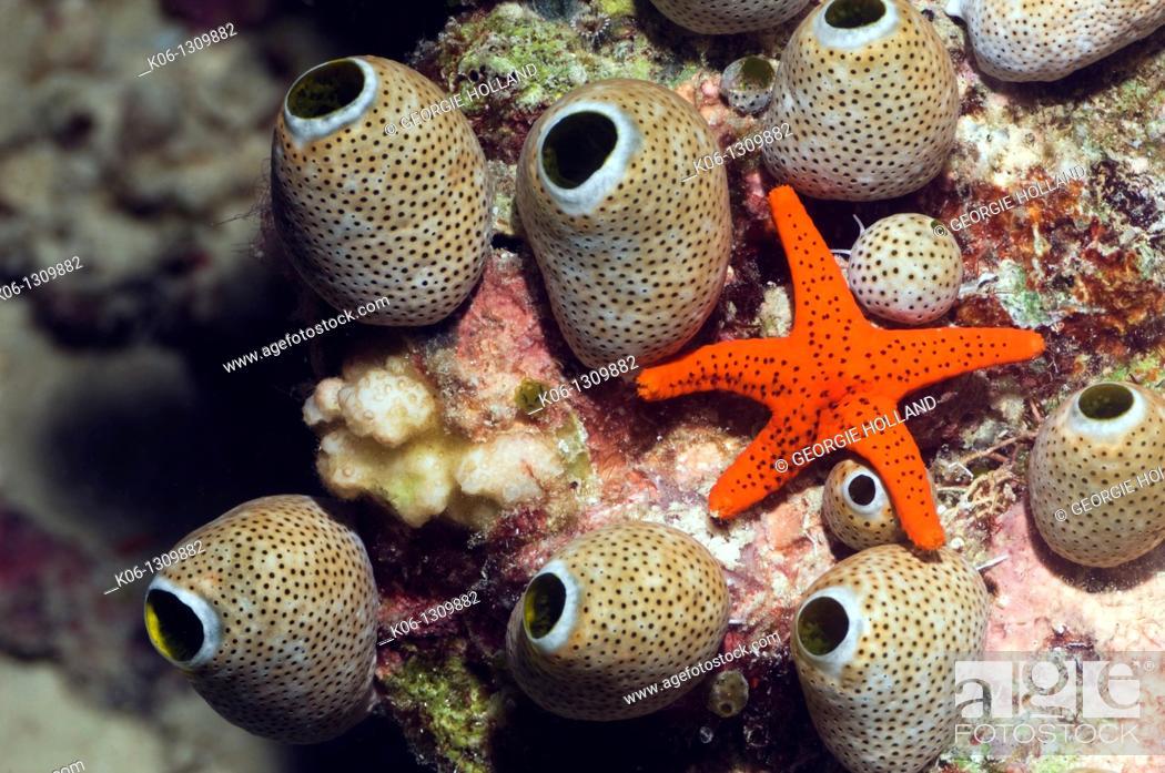 Stock Photo: Red seastar Fromia milleporella and seasquirts or tunicates Atriolum robustum Misool, Raja Ampat, West Papua, Indonesia.
