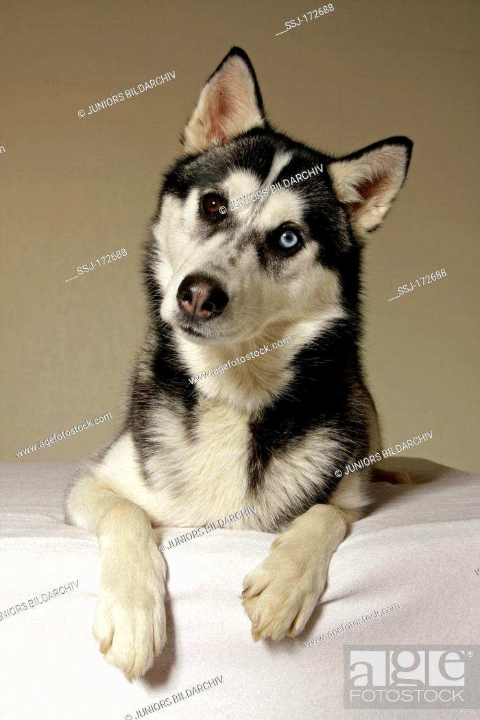 Stock Photo: Siberian Husky. Portrait of adult with eyes of different colour.