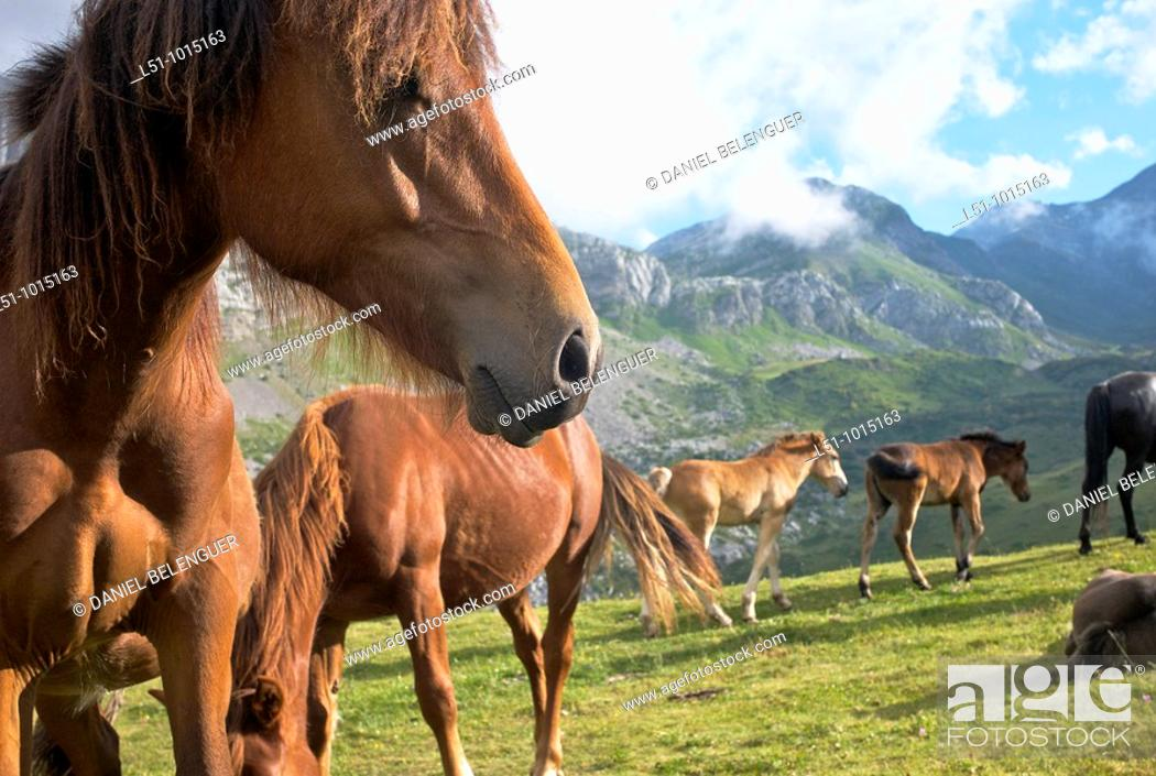 Stock Photo: Herd of horses on the meadows from Somiedo Natural Park, Asturias.