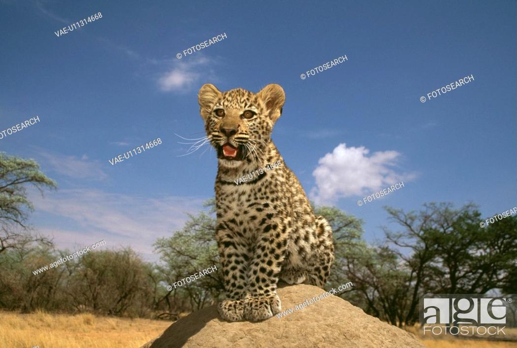 Stock Photo: Leopard.
