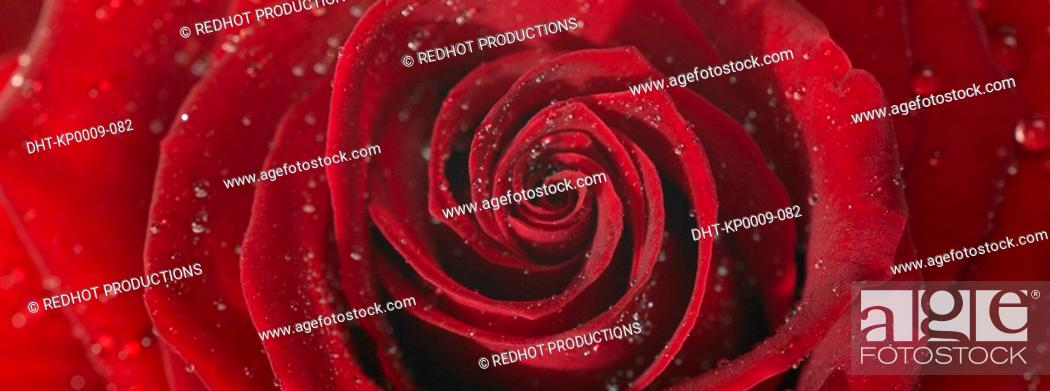 Stock Photo: One Red Rose with dew.