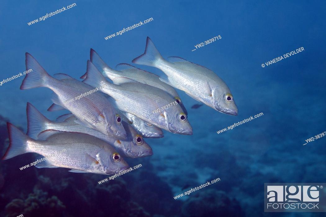 Stock Photo: Mahagony snappers in de Caribbean sea around Bonaire.