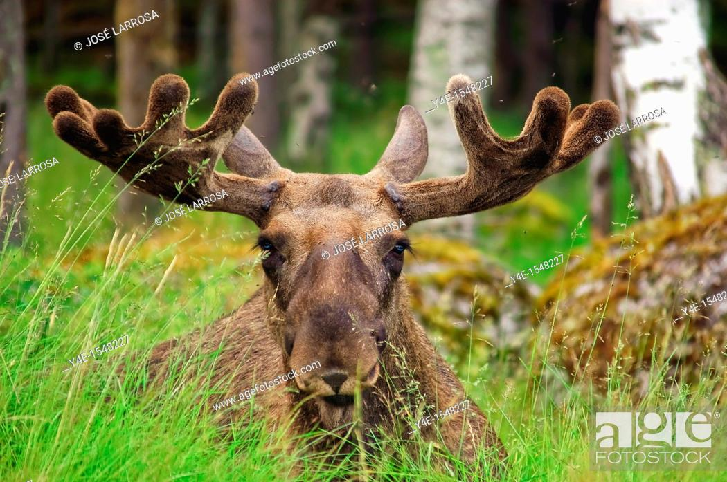Stock Photo: Alces alces, Sweden.