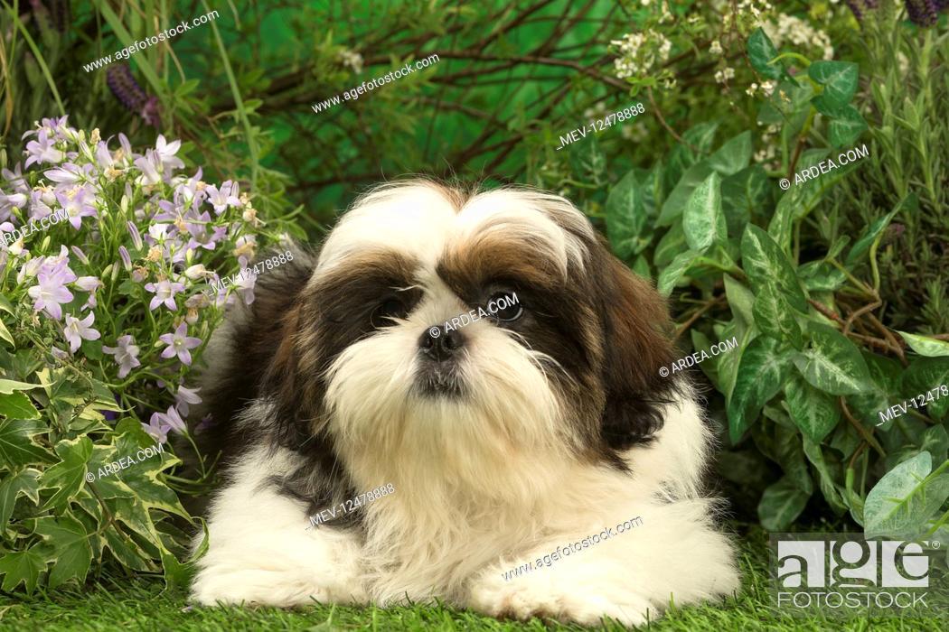 Stock Photo: Shih Tzu puppy outdoors in the garden.