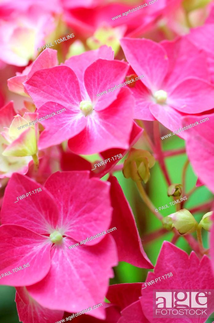Imagen: Hydrangea, Hydrangea macrophylla 'Westfalen', Close up of pink coloured flowers growing outdoor.