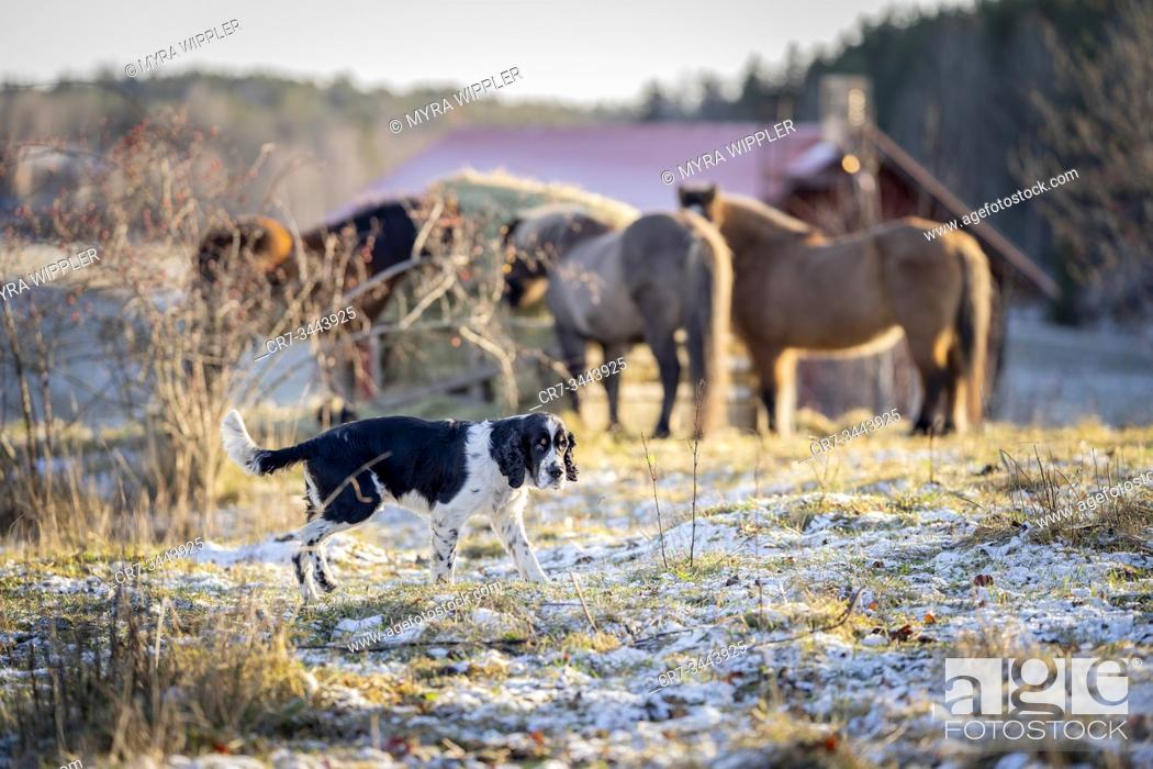 Stock Photo: English springer spaniel dog in the snow with horses.