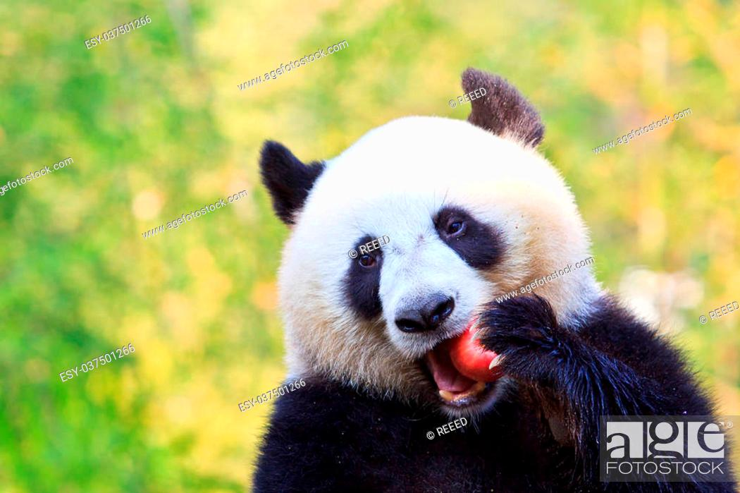 Stock Photo: Panda bear.