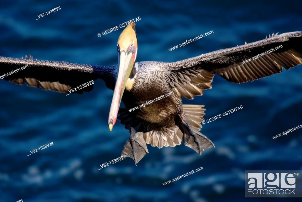 Stock Photo: Brown pelican Pelecanus occidentalis in flight, Ellen Browning Scripps Marine Park, La Jolla, California.