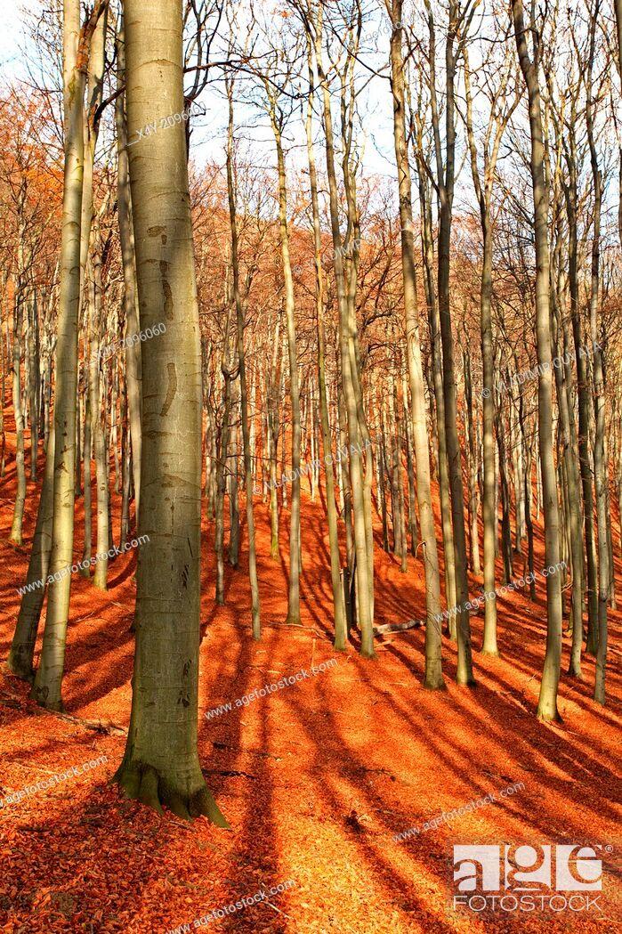 Stock Photo: Beech forest on the slopes of mountain Zaruby, Male Karpaty, Slovakia.