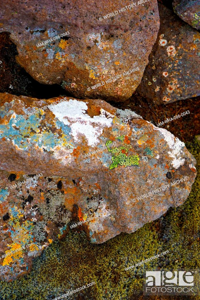 Stock Photo: Samples of moss and algae on volcanic rock, Iceland. Dated 21st Century.