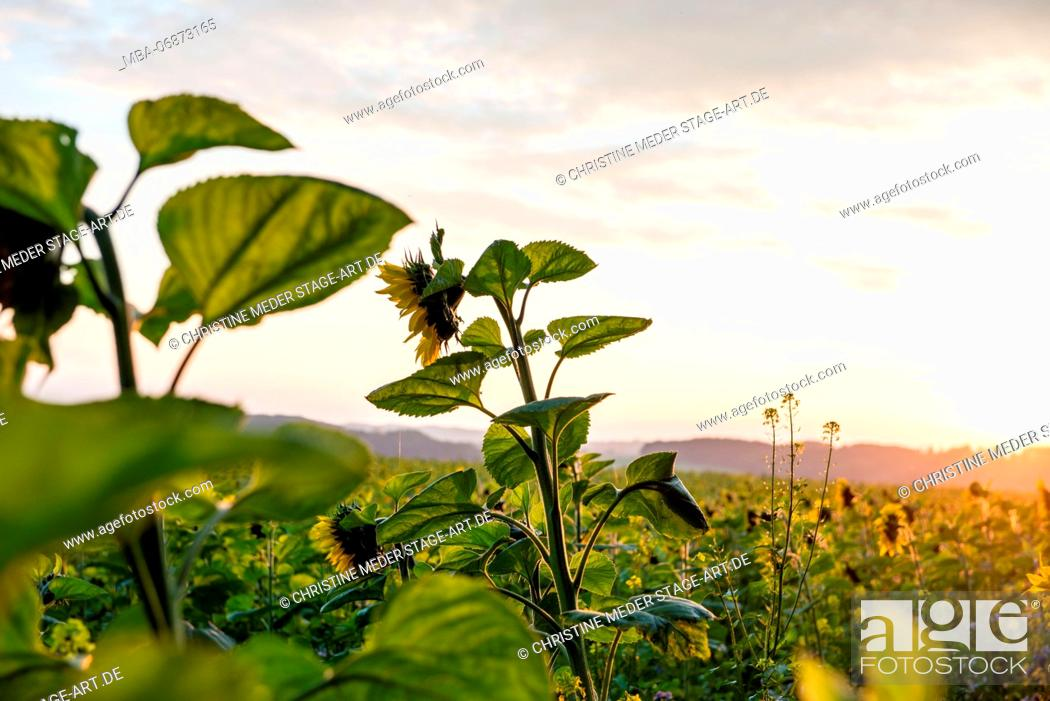 Stock Photo: Sunflowers in the autumn, field.