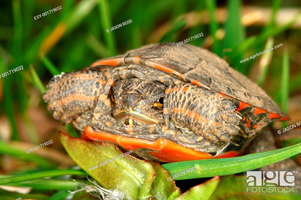 Stock Photo: Painted Turtle Chrysemys picta.