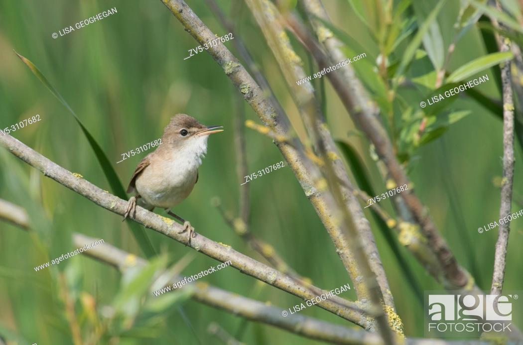 Reed Warbler Acrocephalus Scirpaceus In Song Spring Uk Stock Photo Picture And Rights Managed Image Pic Zv5 3107682 Agefotostock