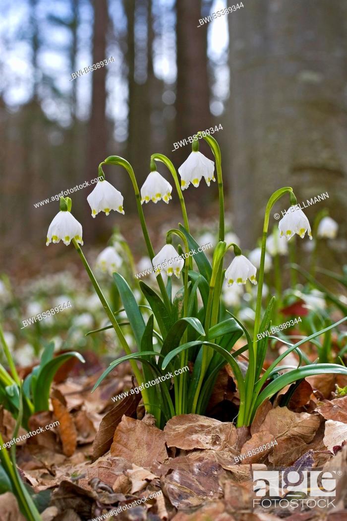 Stock Photo: spring snowflake (Leucojum vernum), blooming, Germany.