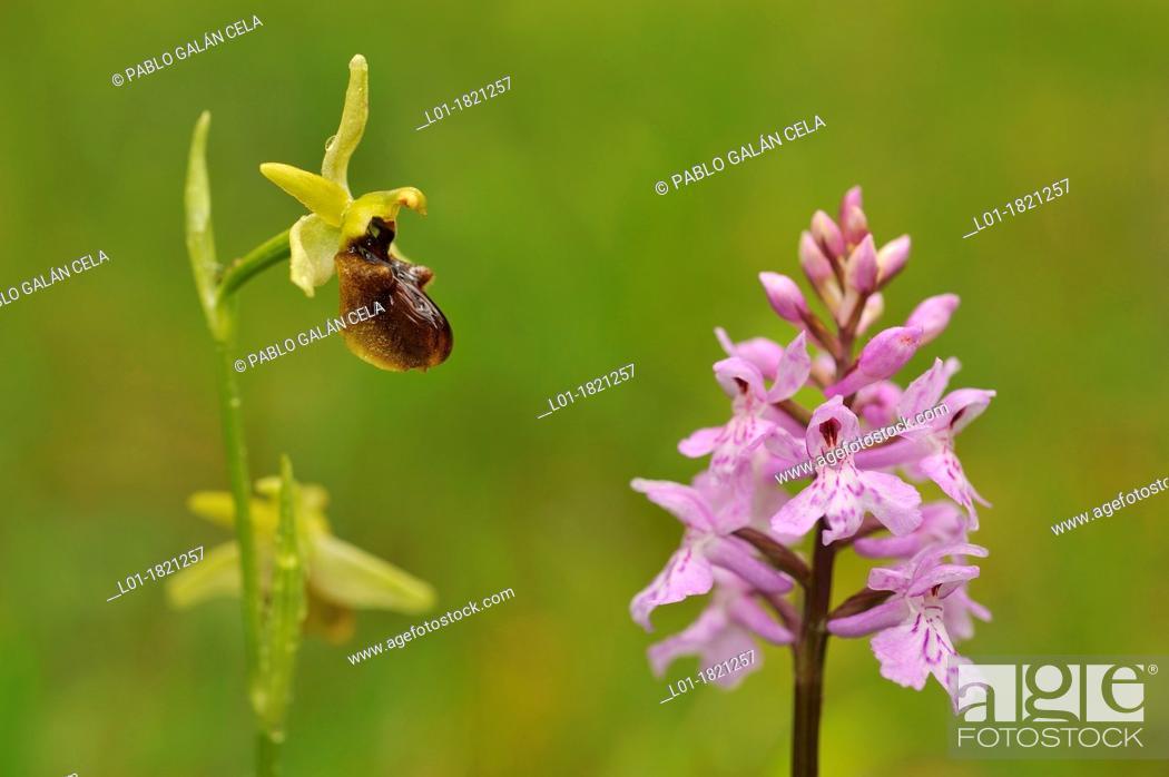 Stock Photo: Wild orchids Dactylorhiza fuchsii & Ophrys sphegodes.