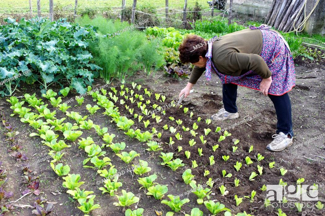 Stock Photo: A senior woman working in a vegetable garden.