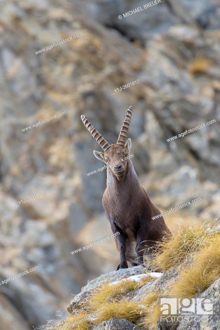 Stock Photo: Alpine Ibex (Capra ibex), Male, Gran Paradiso National Park, Alps, Italy, Europe.