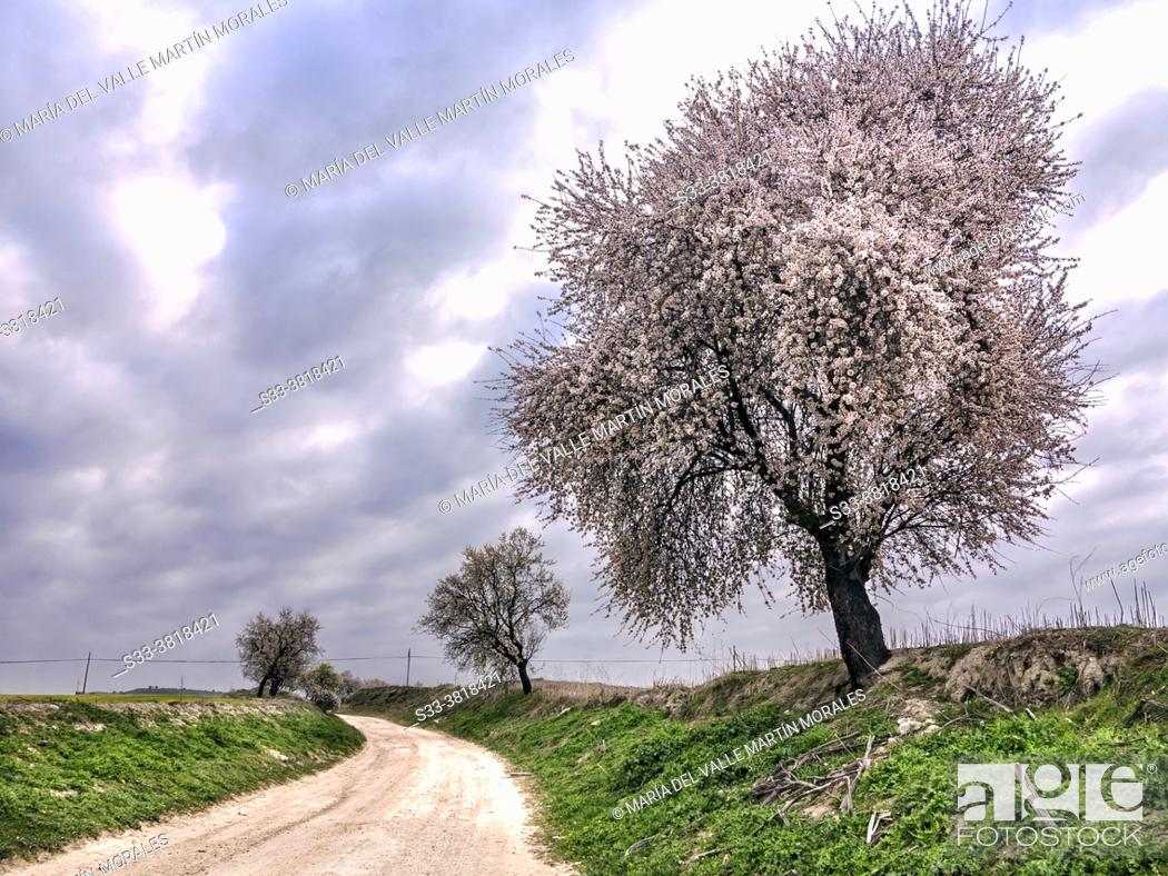 Stock Photo: Almond trees at The Wolf road in Pinto. Madrid. Spain. Europe.