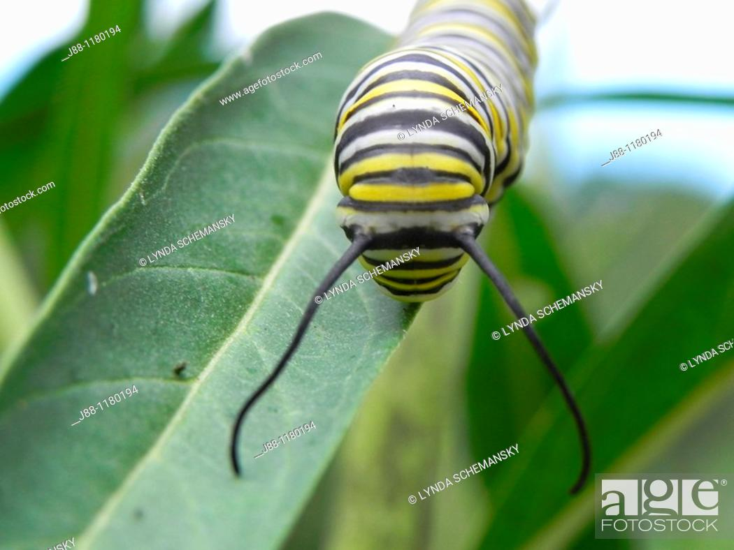 Stock Photo: Caterpillar of the Monarch butterfly, Danaus plexippus, eating leaves and flower buds of the Swan Plant Milkweed, also called Tennis Ball Bush.