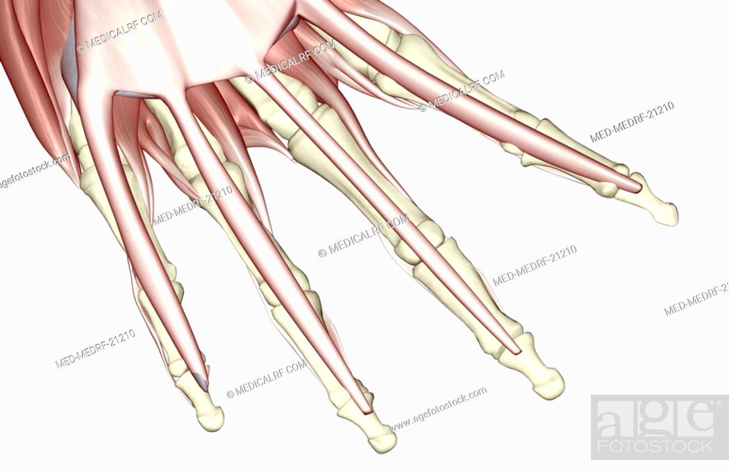 Stock Photo: The muscles of the fingers.